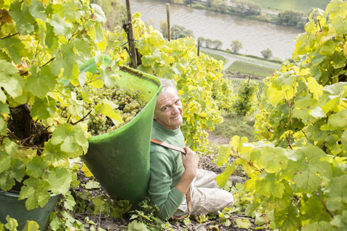 Rieslinglese im Steilhang